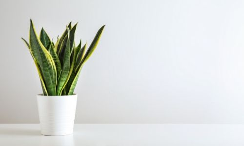 Snake-Plant-–-Best-Plant-for-Bedroom