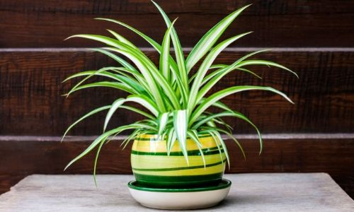 Spider-Plant-–-Easy-To-Grow-Plant