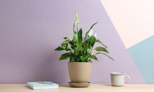Peace-Lily-–-Low-Maintenance-Plant
