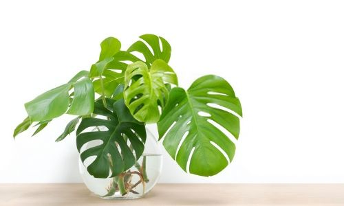 Philodendron-–-Heart-Shaped-Leaves