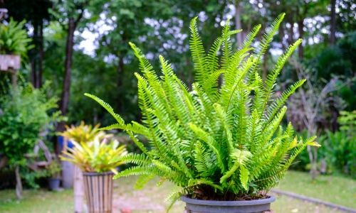 Boston-Fern-–-Best-Air-Purifying-Plant