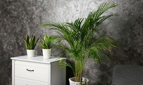 Areca-Palm-–-Golden-Cane-Palm